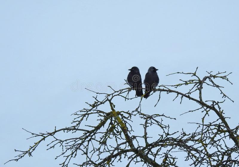 Crow birds on tree branch, Lithuania stock images