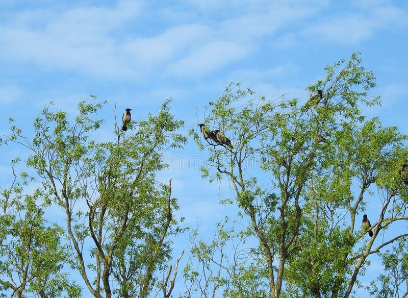 Crow birds on tree branches, Lithuania royalty free stock images