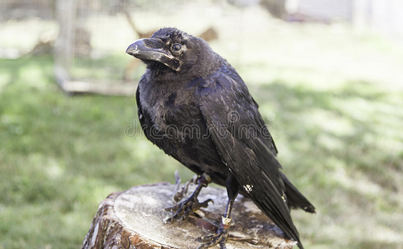 Crow captive stock images