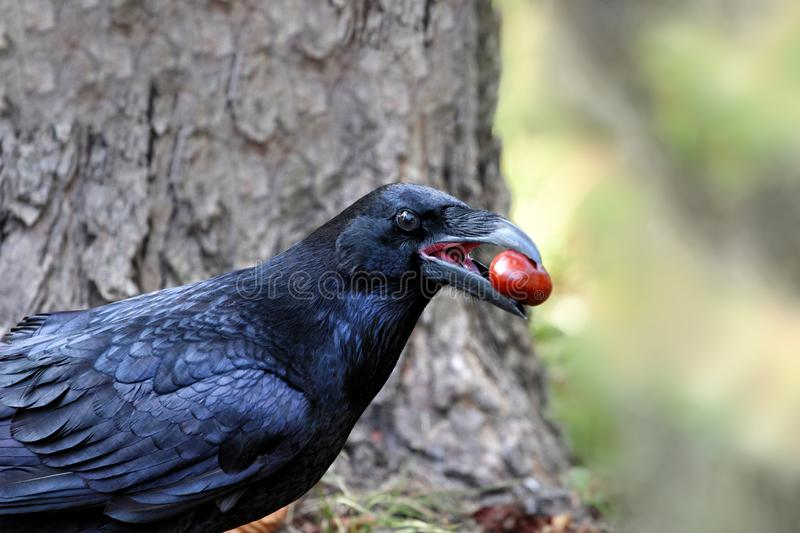 Crow with a chestnut in a park during spring. Selective focus stock photo