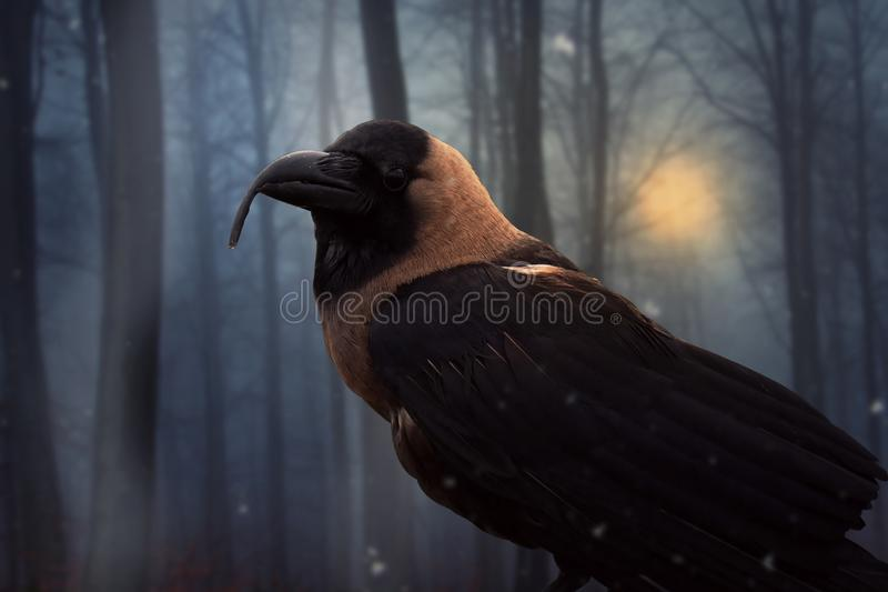 Crow-with-curved-beak-forest stock photo