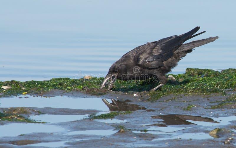 Crow digging on black beach stock photo