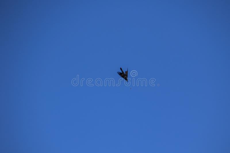 A crow dropping a nut royalty free stock photo