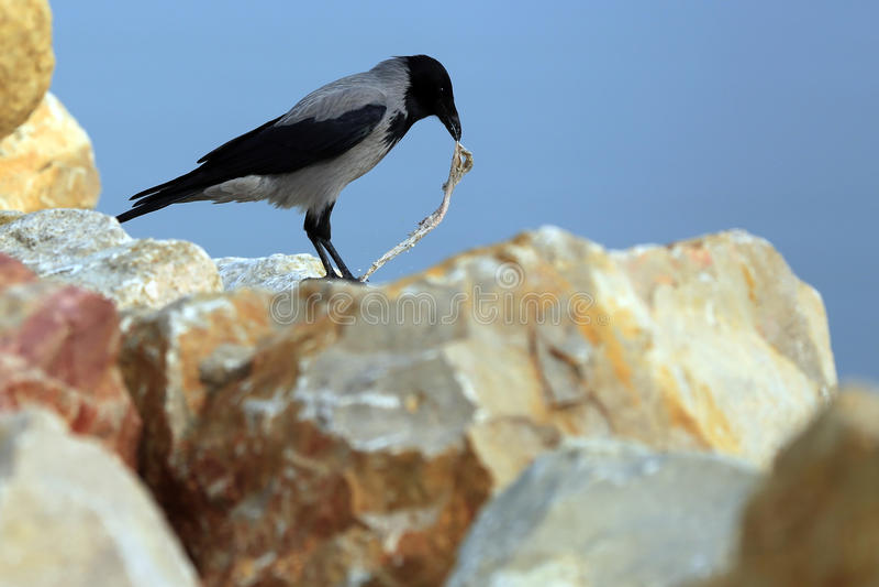 Crow eating fish guts royalty free stock image
