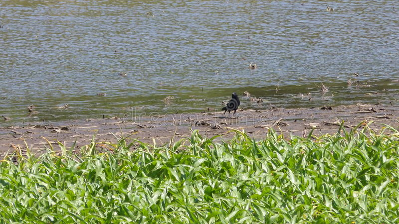 Crow on Edge of Marsh. This crow walks on the edge of a marsh during the Summer stock images