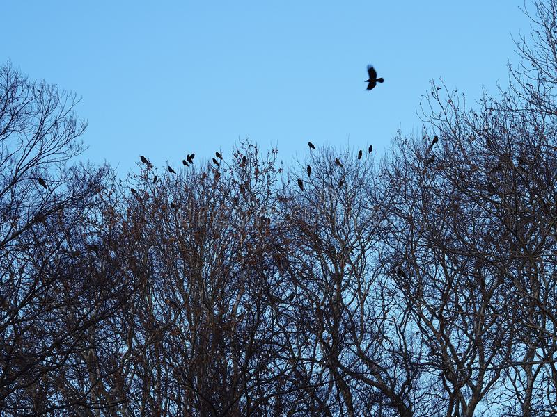 A crow flies above a forest full of crows stock image
