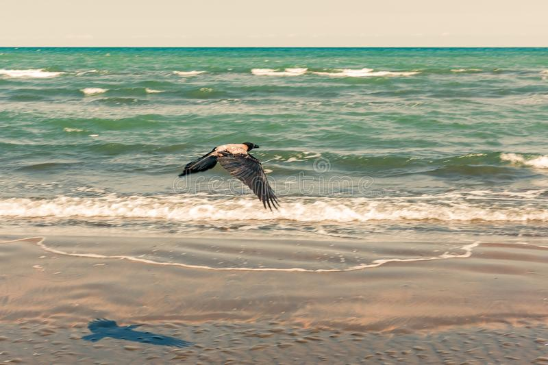 Crow in flight by the sea royalty free stock images
