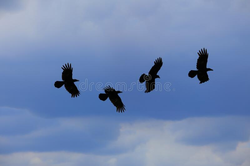 The crow fly on 4 steps on the sky and rainy clouds stock photos