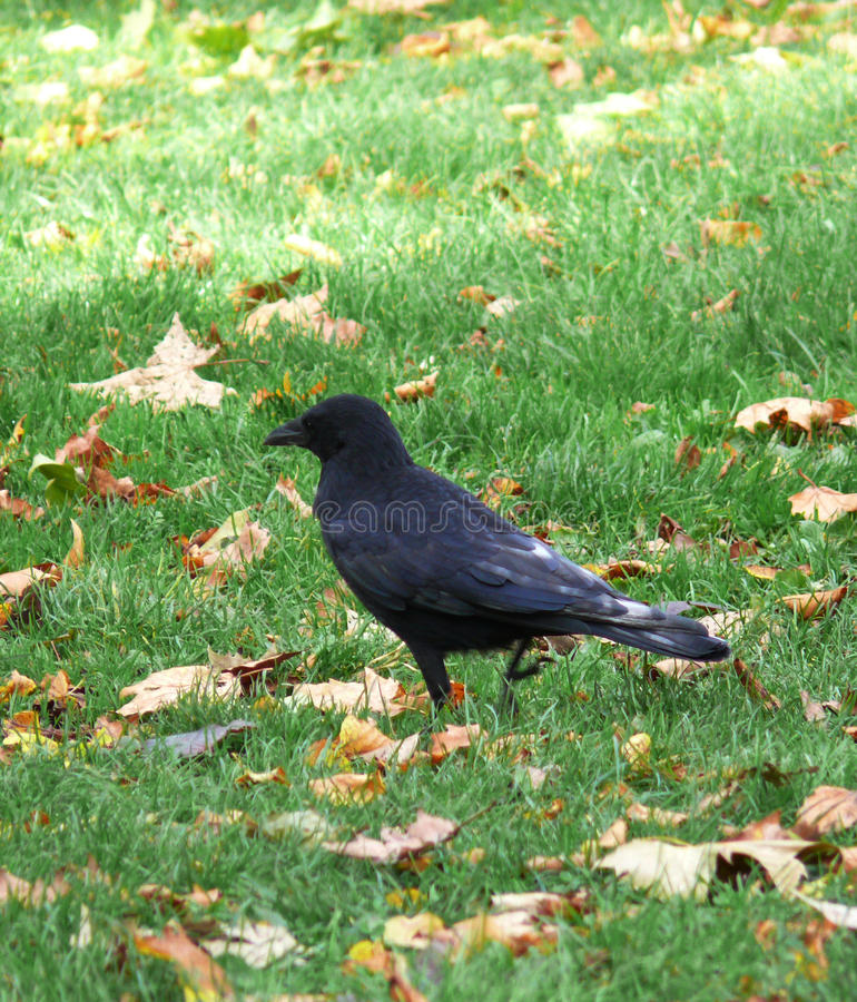Crow On the Grass royalty free stock photos