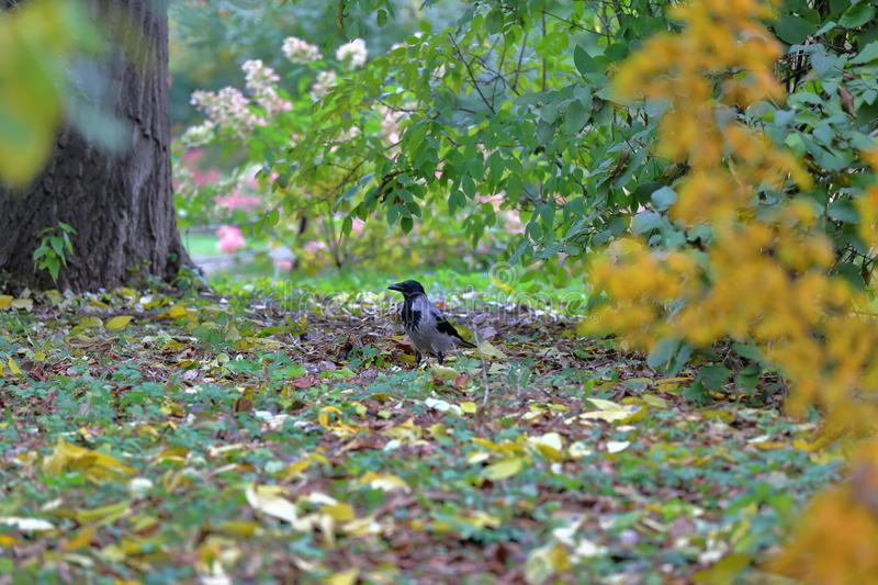 Crow on the green lawn in the autumn park royalty free stock images
