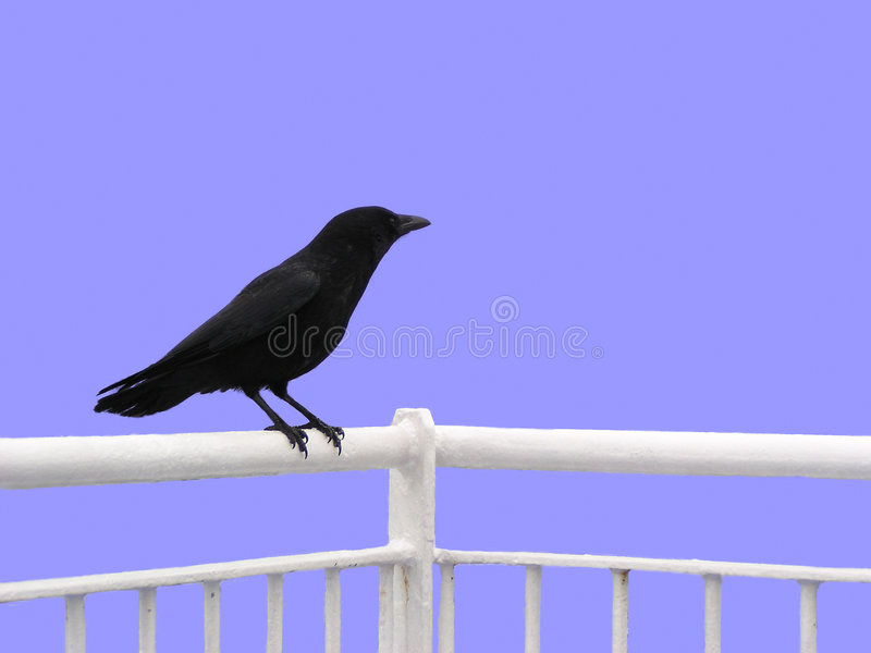 Crow (isolated) royalty free stock photography