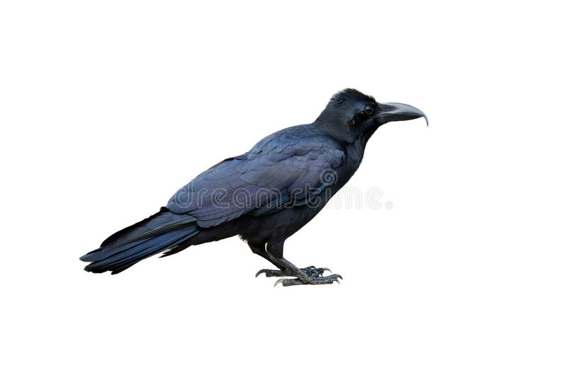 Crow on isolated background royalty free stock photography