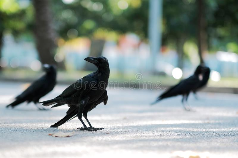 Crow is looking for food on the street. Animal, bird, nature, wildlife, park, city, black, beak, raven, beautiful, closeup, background, garden, color, summer royalty free stock image