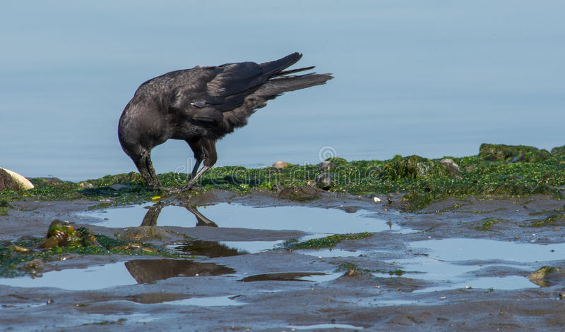 Crow with minnow. A raven is digging out a minnow at the low tide line stock photos