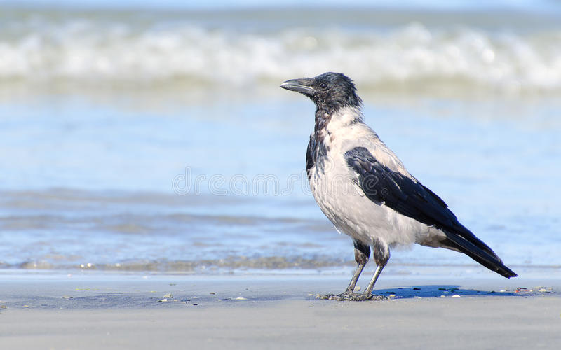 Download Crow stock photo. Image of raven, searching, wings, lonely - 34313912