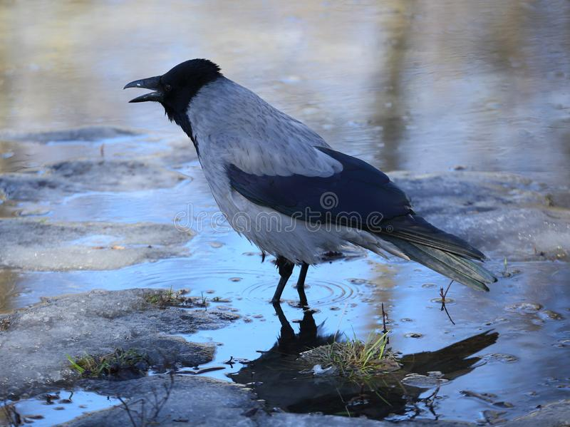 Crow with an open beak is in the water. From the melting ice in the spring royalty free stock photo