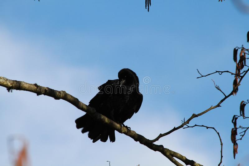 A crow perched on a branch royalty free stock image