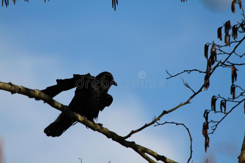 A crow perched on a branch royalty free stock photo