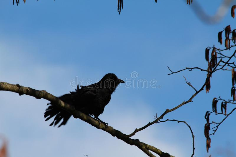 A crow perched on a branch stock images