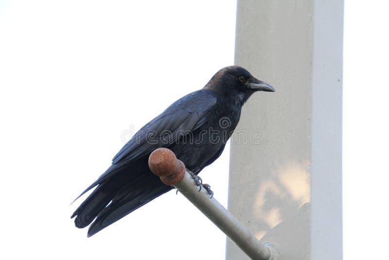 A crow perched on horizontal like pole stock photos