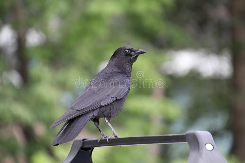 A crow perched on the roof racks of a car stock image
