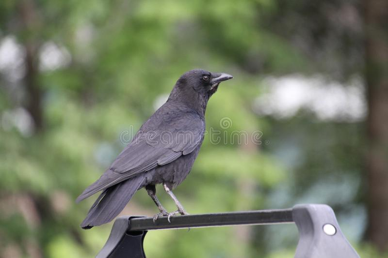 A crow perched on the roof racks of a car royalty free stock image