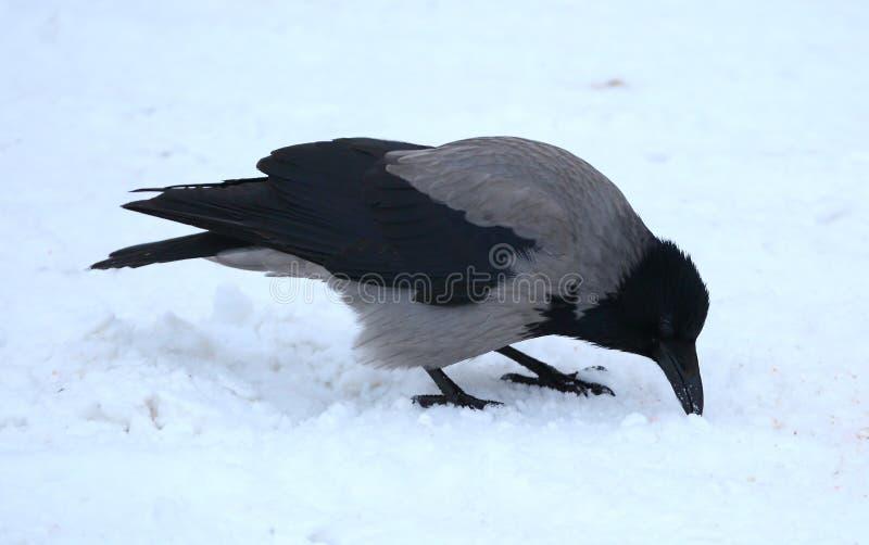 Crow picks his beak in the snow. A crow picks his beak in the snow stock image