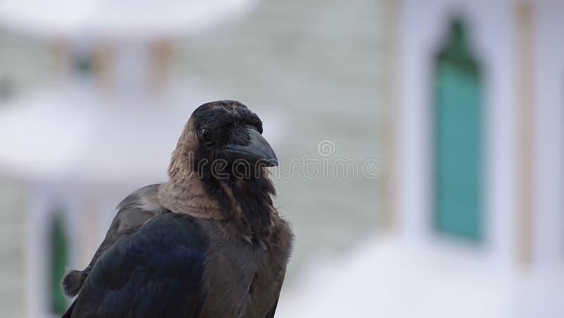 Crow Profile Free Public Domain Cc0 Image