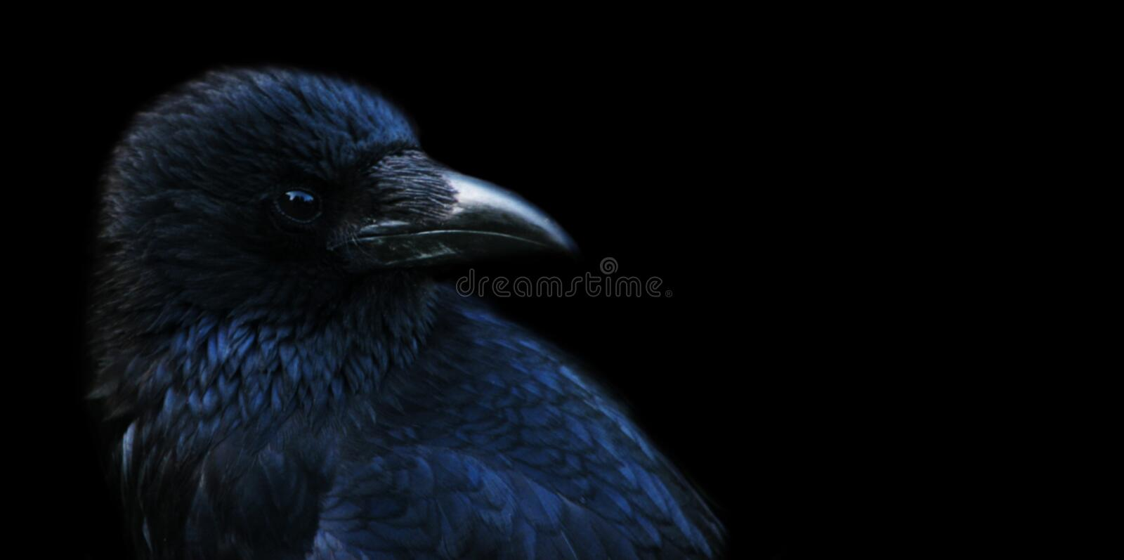 Crow, Raven Stock Photography