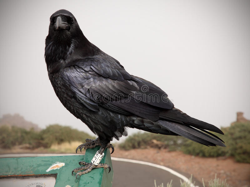 Crow or raven portrait royalty free stock photography