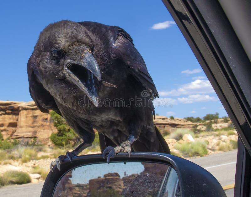 Crow, Raven - portrait stock image