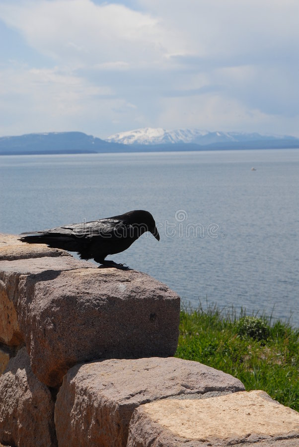 Crow on a Rock royalty free stock photography