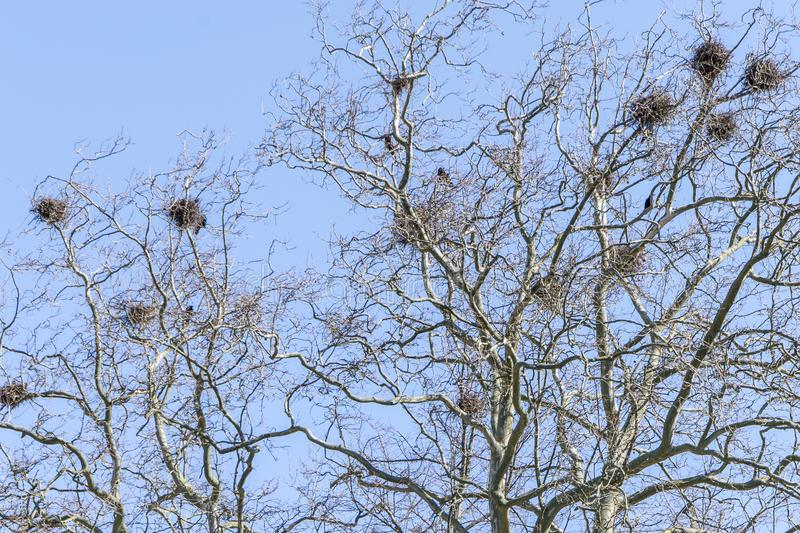 Download Crow`s nests stock photo. Image of branches, nests, crows - 115928784