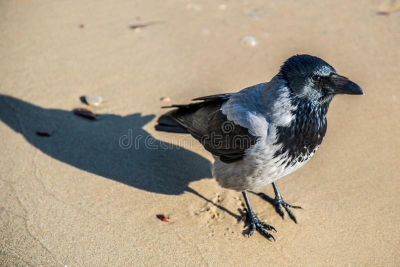 Crow on a sand stock image