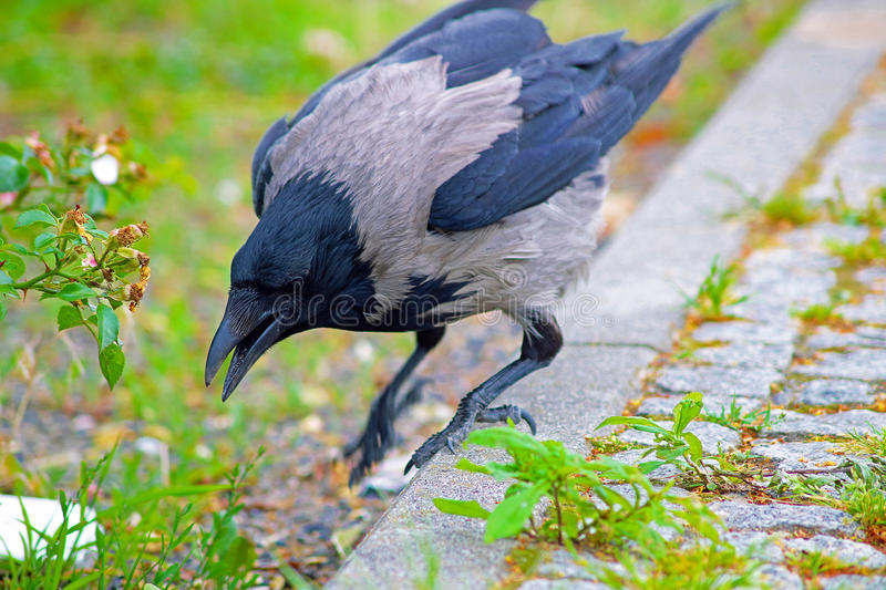 Crow. Searching for food on the floor stock image