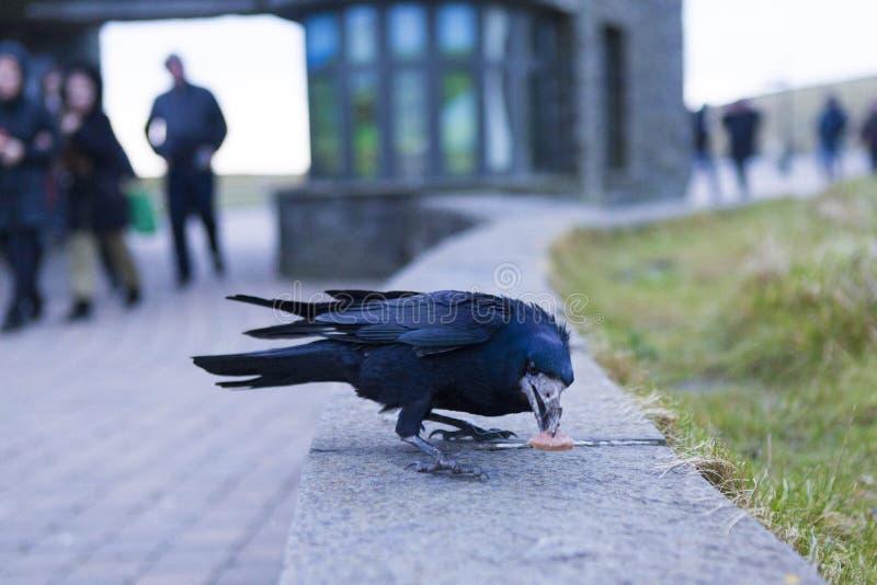 Crow seeking food to survive. Crow seeking food in a car parking royalty free stock photo