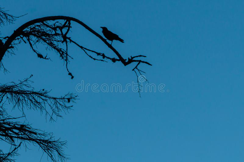 Crow silhoeted perched on a tree branch stock images