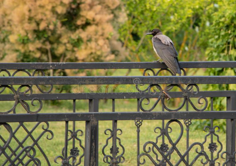 A crow sits on the fence in the park stock photo
