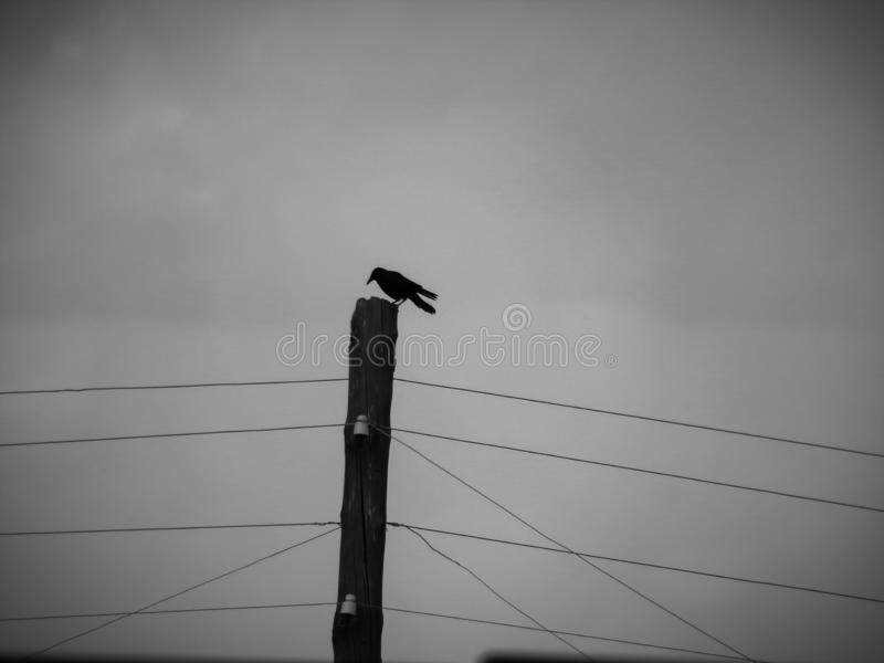 A crow sits on a power line pole in the rain. stock photography