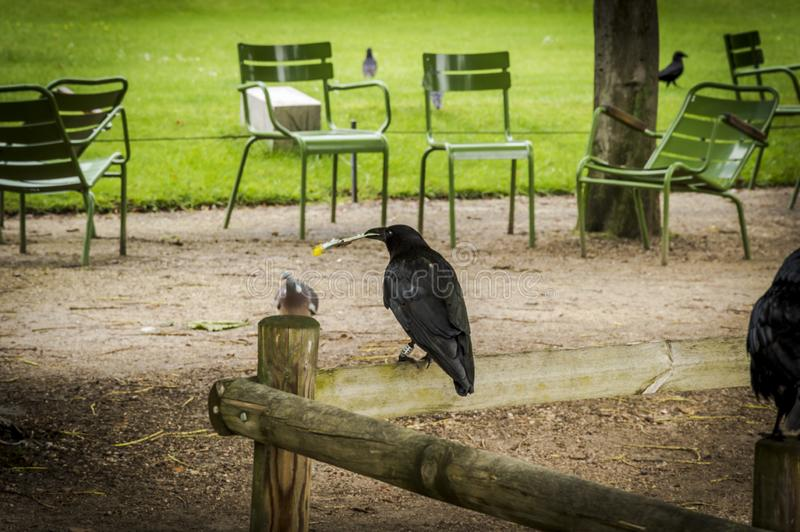 The crow sitting in a fence in Tuileries garden with a piece of stolen food royalty free stock image