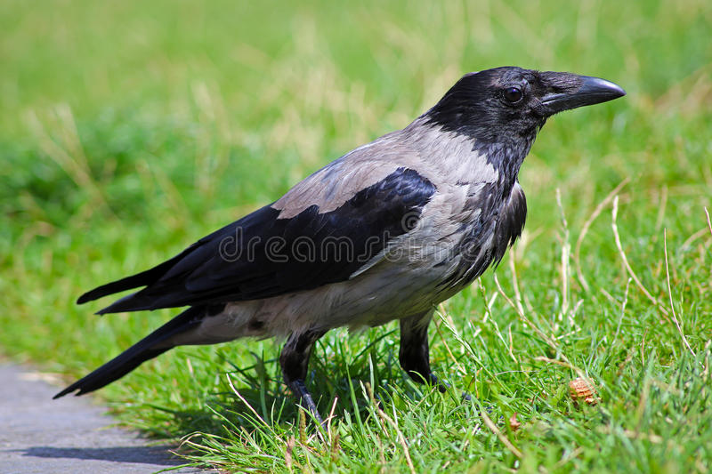 Crow. Sitting on a lawn stock photography