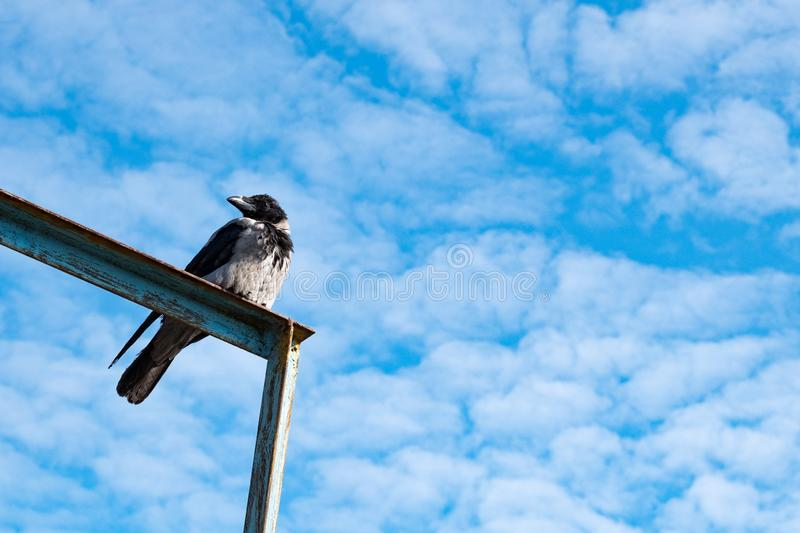 Crow sitting on metal corners look back, blue sky background small clouds. Summer day stock photography