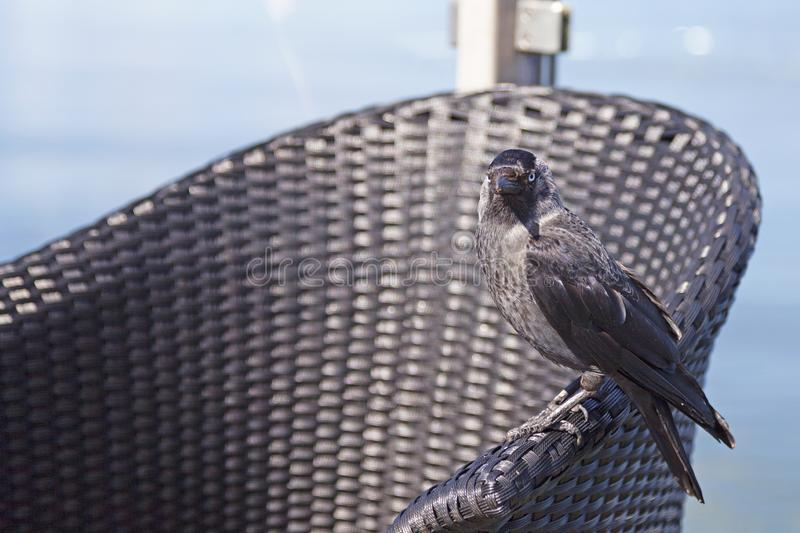 Crow sitting on an outdoor furniture stock photos