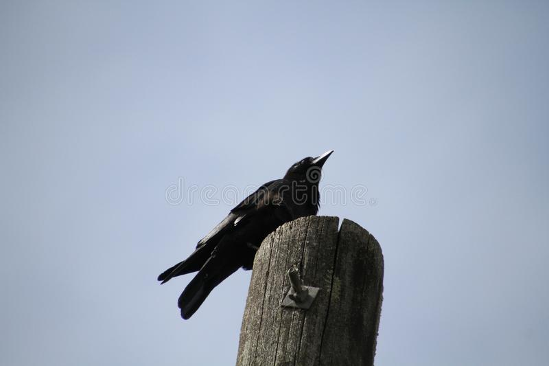 A crow sitting on a post stock photography