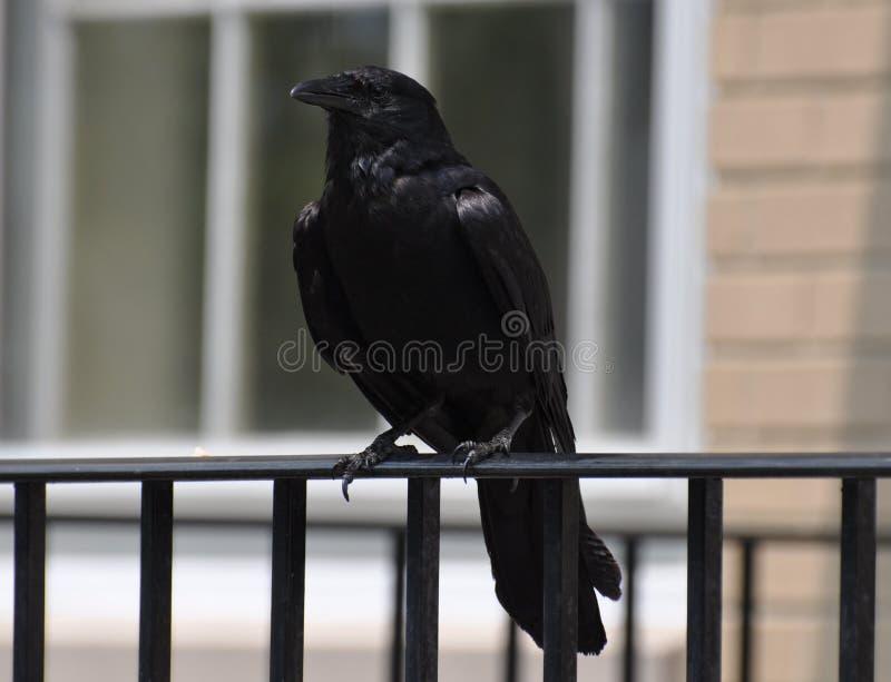 Crow Sitting on Railing arkivbilder