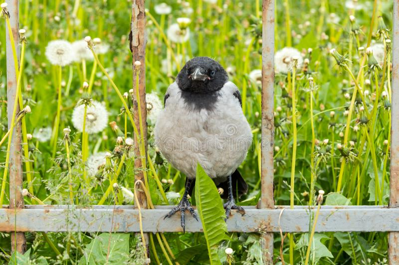 Crow sitting on a rusty fence. Dandelions in the background.-image royalty free stock photo