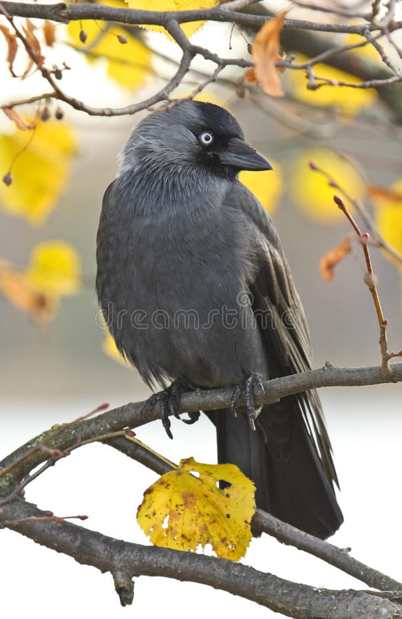 Crow sitting in a tree stock image