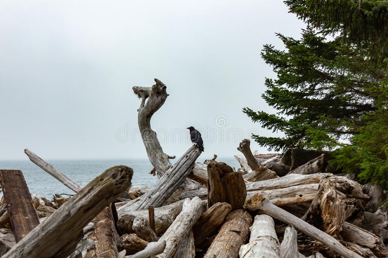 crow sitting up on driftwood near pacific ocean stock images