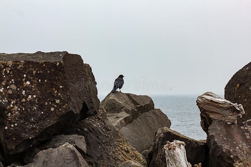 vertical shot of crow sitting up on top of sea rocks and driftwood logs stock photo