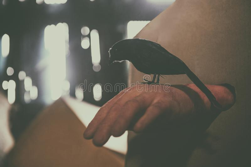 Crow sitting on a zombie hand halloween in abandoned house at night with moonlight. Crow sitting on a zombie hand halloween in the abandoned house at night with royalty free stock photos
